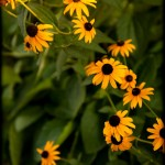 Black-Eyed_Susans_in_the-South